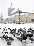 Pigeons in winter city. Lots of grey pigeons looking for food in a city plaza covered with snow royalty free stock photo