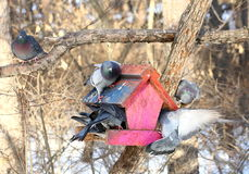 Pigeons in winter forest Royalty Free Stock Images
