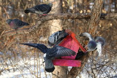 Pigeons in winter forest Stock Photo