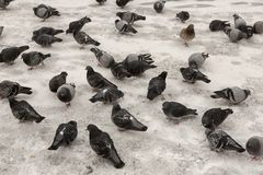Pigeons in the winter stock image