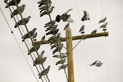 Pigeons on a Wire Royalty Free Stock Image