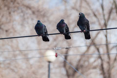 Pigeons on the wire Royalty Free Stock Images