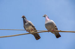 Two pigeons hang on an electric wire blue sky background Royalty Free Stock Photo