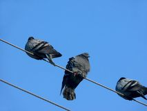 Pigeons. Wires. Royalty Free Stock Photos
