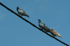 Pigeons in wires. Pigeons in diagonal wires Royalty Free Stock Image