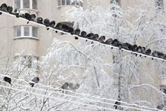 Pigeons - RAW format Stock Image