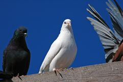 Pigeons10 di razza Fotografie Stock
