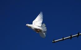 Pigeons3 di razza Fotografie Stock Libere da Diritti