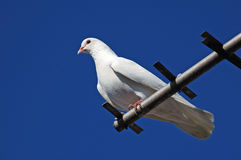 Pigeons53 di razza Immagine Stock Libera da Diritti