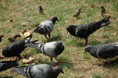 Pigeonsinthepark. A Bunch of Pigeons in Bryant Park in New York City Royalty Free Stock Photo