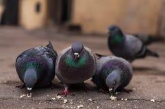 Pigeonss Obrazy Royalty Free