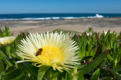 Pigface, bee and ocean. Bee pollinating Carpobrotus edulis (pigface) a creeping mat-forming succulent plant thriving on the coast, with ocean in the background Royalty Free Stock Images