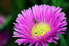Pigface Flower with Insect Stock Images
