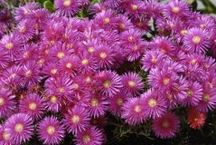 Pigface, Ice plants Royalty Free Stock Image