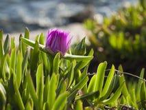 Pigface kwiat w kwiacie Fotografia Stock