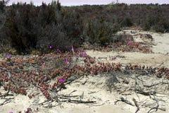 Pigface s'élevant près des lacs de sel entre Hyden et Albany, WA, Australie photos stock