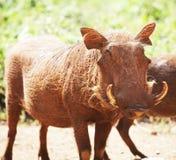 Pigg Royalty Free Stock Image