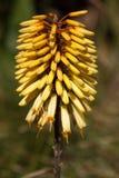 Pigg av gula Kniphofiablommor Fotografering för Bildbyråer