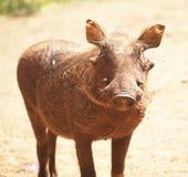 Pigg Royalty Free Stock Photos