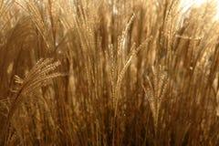piggar för modell för gräs för bakgrundskantjustering guld- Arkivbilder