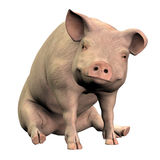 Piggie 001. One little piggie sitting contentedly, almost smiling Royalty Free Stock Photos