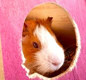 Piggie face! Stock Photos