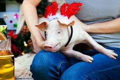 Piggie piggy piglet red pig sits 2019 Yellow New Year christmas hold hand face decorations deer antler horn. A small white pig is sitting on the woman`s lap royalty free stock photography
