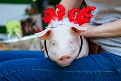 Piggie piggy piglet red pig sits 2019 Yellow New Year christmas hold hand face decorations deer antler horn. A small white pig is sitting on the woman`s lap stock photos