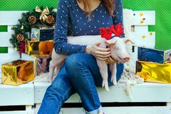 Piggie piggy piglet red pig sits 2019 Yellow New Year christmas hold hand face decorations deer antler horn. A small white pig is sitting on the woman`s lap stock image