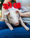Piggie piggy piglet red pig sits 2019 Yellow New Year christmas hold hand face decorations deer antler horn. A small white pig is sitting on the woman`s lap royalty free stock image