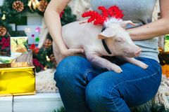 Piggie piggy piglet red pig sits 2019 Yellow New Year christmas hold hand face decorations deer antler horn. A small white pig is sitting on the woman`s lap stock photography