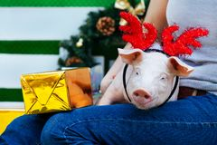 Piggie piggy piglet red pig sits 2019 Yellow New Year christmas hold hand face decorations deer antler horn. A small white pig is sitting on the woman`s lap royalty free stock images