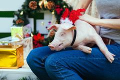 Piggie piggy piglet red pig sits Yellow New Year christmas hold hand face decorations deer antler horn. A small white pig is sitting on the woman`s lap. Funny stock photography
