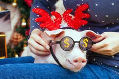 Piggie piggy piglet red pig sits Yellow New Year christmas hold hand face decorations deer antler horn sunglasses. A small white pig is sitting on the woman`s royalty free stock photography