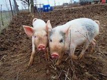 Piggies Royaltyfri Fotografi