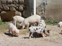 Piggies. Little piggies eating up in a farm Royalty Free Stock Photo