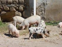 Piggies Royalty Free Stock Photo