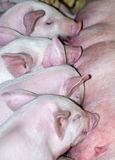 Piggies in a row. A row of small piglets suckling Stock Photography