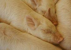 Piggies sovande i en hög Arkivbild