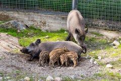 Piggies of wild boar  suck their mother`s milk. In the zoo Stock Photo
