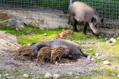 Piggies of wild boar  suck their mother`s milk Stock Image