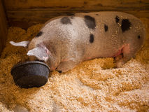 Pigging Out royalty free stock photography