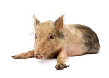 Pigglet Stock Image
