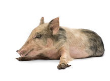 Pigglet Stock Photos