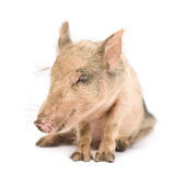 Pigglet Royalty Free Stock Photo