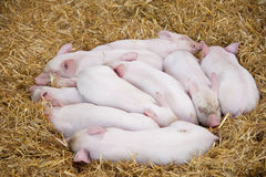 Pigglets Photo libre de droits