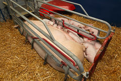 Pigglets and sow Stock Image