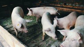 Piggy που περπατά στο άχυρο με τις ετικέττες στα αυτιά στο αγρόκτημα χοίρων απόθεμα βίντεο
