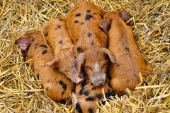 Piggy στη μέση Στοκ εικόνα με δικαίωμα ελεύθερης χρήσης
