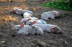 Piggy ύπνος της Lil στο έδαφος Στοκ Εικόνα